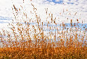 wheat_9484
