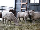 3 white sheep1